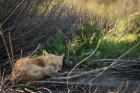 sleeping fox, Hayward Shoreline